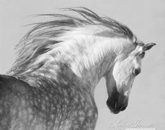 Andalusian Stallion Looks  Fine Art Horse by WildHoofbeats on Etsy