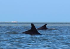 Dolphins, Fort Myers Beach