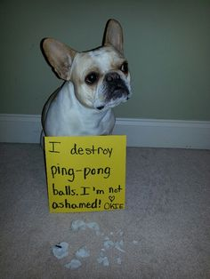 Okie barks and cries every time we play ping-pong. When she finally gets the ball she destroys it!
