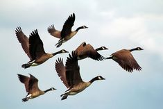 Gansos, Aves, Flock
