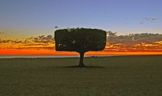 Beach tree at sunset, Carlos Pointe Condominium, Fort Myers Beach, Florida