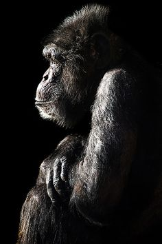 Chimpanzee - Most Beautiful Pictures Primates, Mammals, Animals Of The World, Animals And Pets, Cute Animals, Wild Animals, Wildlife Photography, Animal Photography, Beautiful Creatures