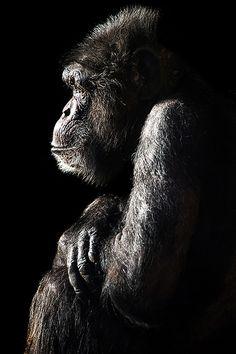 Gorilla's best side - no photographer or location attribution