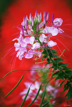 Pretty Pink Cleome Flower