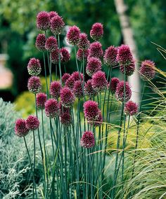 Allium Sphaerocephalon (Drumsticks) Crowded heads of purple-crimson drumsticks, fine for cutting. The flowers open green, then start to turn purple from the top, creating unusual two -tone flower heads. Great when planted with perennials in the border. Allium Flowers, Bulb Flowers, Planting Flowers, Daffodils, Purple Flowers, Tulips, Allium Sphaerocephalon, Fall Plants, Garden Plants