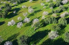 Almond Trees in Bloom, by Mallorca Dream Homes