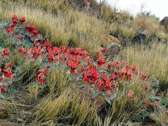 Sturt Desert Pea, beautiful but difficult to grow in a garden.