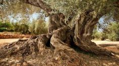 A specimen of more than years old has been sequenced. The ' Farga de Arion ', the oldest olive tree in Spain and located in the Tarragona locality of Ulldecona (Turisme D'Ulldecona) Nature Pictures, Beautiful Pictures, Fields Of Gold, Olives, Old Trees, Mediterranean Garden, Big Tree, Olive Tree, Plantar
