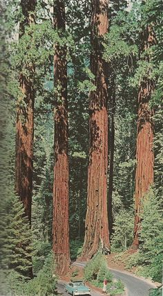 sister—moonshine:  justenoughisplenty:  nationalgeographicscans:  August, 1959 Giant Sequoias