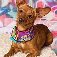 Gilbert, Arizona - Chihuahua. Meet Melissa, a for adoption. https://www.adoptapet.com/pet/19998362-gilbert-arizona-chihuahua-mix