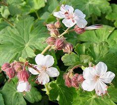 geranium macrorrhizum spessart - Google zoeken