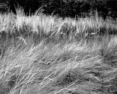 Ansel Adams . Grass . Yosemite National Park, California . 1944