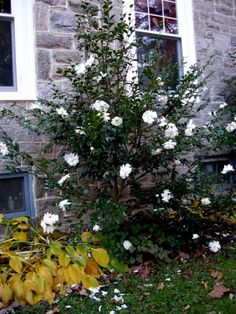 Camellia x 'Winter's Snowman' in the garden of Charles Cresson, November Camelia Tree, Landscape Design, Garden Design, Evergreen Hedge, White Camellia, Unusual Plants, Backyard Projects, Backyard Ideas, Plant Nursery