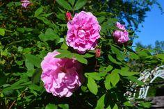 Theresaruusu ja vähän ruusuporttiakin