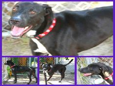 10/13/15-HOUSTON - KOOPA - ID#A1104431  My name is KOOPA.  I am a neutered male, black and white Labrador Retriever mix.  The shelter staff think I am about 3 years old.  I have been at the shelter since Nov 03, 2012.  This information was refreshed 47 minutes ago and may not represent all of the animals at the BARC Animal Shelter & Adoptions.