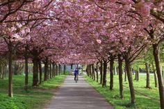 Kirschbaumallee in spring
