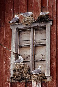 seagulls nests