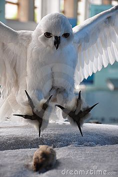 White owl hunting mice