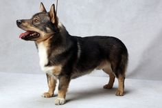 Lor the Swedish Vallhund (Herding). Lor, registered as Solborg Faramir, is owned by Angelic Vetter. (Fred R. Conrad, a New York Times photographer, set up a studio at the 2013 Westminster Kennel Club dog show and invited Best of Breed winners to pose.)