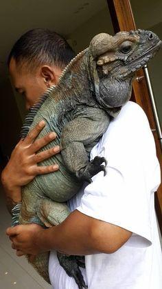 Meet Dino the rhino iguana . Les Reptiles, Cute Reptiles, Reptiles And Amphibians, Animals And Pets, Baby Animals, Funny Animals, Cute Animals, Baby Hippo, Wild Animals