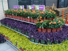 Contrasting colors make a statement. Florida Friendly Perennials at your Florida Home Depot garden center.