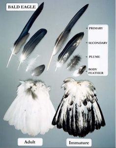 Bald Eagle feather ID guide Native American Models, Native American Regalia, Hawk Feathers, Eagle Feathers, Feather Crafts, Feather Art, Bald Eagle Feather, Eagle Feather Tattoos, Boho Gypsy