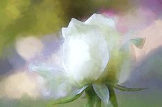Sweet white Rose by Terry Davis #rose #watercolor #flower