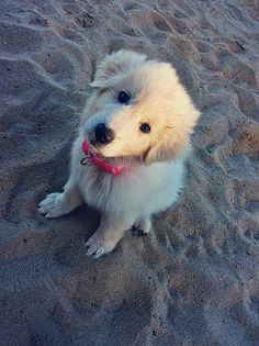 Kiara  - Maremma Sheepdog.