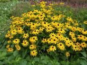 Rudbeckia fulgida 'Early Bird Gold'. This cultivar was discovered in Louisiana and manages to significantly lengthen the flowering period (June-October). Up to 60cm x 45cm.