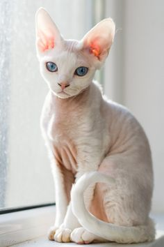 Top 5 of the Most Affectionate Cat Breeds Sphynx Pretty Cats, Beautiful Cats, Animals Beautiful, Pretty Kitty, Chat Sphynx, Hairless Cats, Siamese Cats, Small Cat Breeds, Different Breeds Of Cats