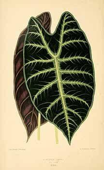 Alocasia longiloba Miq. var. picta [as Alocasia lowii Hook.f. var. picta]  / Rothschild, J., Les plantes a feuillage coloré [original ed. E.J. Lowe and W.  Howard, Beautiful leaved plants (1861)], vol. 2: t. 29 (1870)