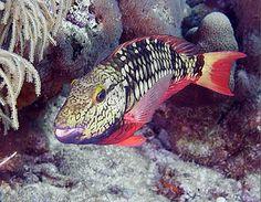 stoplight parrot fish