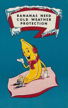 Remember folks, bananas need cold weather protection.  1950s