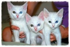 5 Turkish Angora Kittens is an adoptable Turkish Angora Cat in Orange, CA. Turkish Angora bi-eyed kittens! OMG! cutest kittens you have ever seen (FV/ HB - Adopt Today) Meet some of the most beautiful...