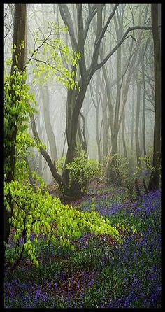 Tomorrow's Dream #photo by  Damian_Ward #Bluebells Hyacinthoides non-scripta Beech common bluebell trees Chilterns Chiltern Hills The Chilterns fog mist