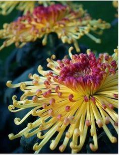 Chrysanthimum Lava - fall flowers