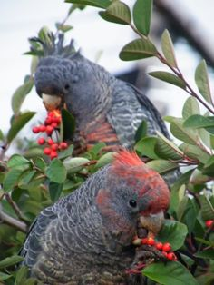 Australian Gang-gang cockatoo female (rear) and juvenile male photo by Alan Ransley