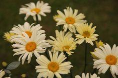 Buy shasta daisy Leucanthemum × superbum 'Banana Cream': Delivery by Crocus