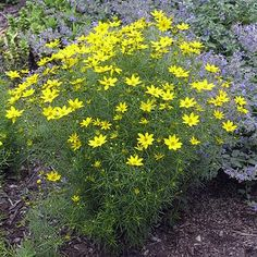 Coreopsis verticillata 'Zagreb' | Zagreb Coreopsis | Smaller and more compact than Moonbeam Coreopsis. 'Zagreb', with its bright golden yellow flowers atop airy foliage, is perfect for the front of any garden | Height: 12-18 in | Width: 18-24 in | Soil Conditions: Dry | Bloom: Gold June-October | Zone: 3 TO 9 | Full Sun | Midwest Groundcovers