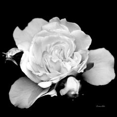 Rose Black And White Art Print by Christina Rollo.  All prints are professionally printed, packaged, and shipped within 3 - 4 business days. Choose from multiple sizes and hundreds of frame and mat options.