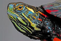 Depending on the quality of their lifetime care, these aquatic turtles can live into their or Turtle Care, Pet Turtle, Baby Turtles, Baby Painting, Turtle Painting, Reptiles And Amphibians, Mammals, Turtle Images, Safari