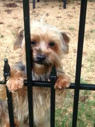 Sissy is an adoptable Yorkshire Terrier Yorkie Dog in Conway, AR. Looking for a little dog to keep you comfortable on scary stormy nights or frolic with you on your beach vacation .Maybe just hang wit...