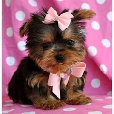 tcup yorkie.. how cute is she?