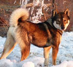 shikoku dog | still interested in owning a shikoku dog please use this