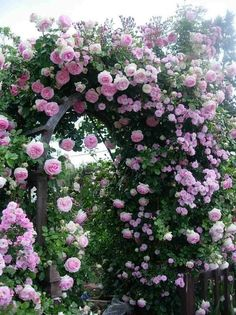 """An advantage of growing these two plants together is that with correct pruning, the clematis will flower from the base to the top, its flowers masking the inevitable """"bare legs"""" of the climbing rose. Description from pinterest.com. I searched for this on bing.com/images"""