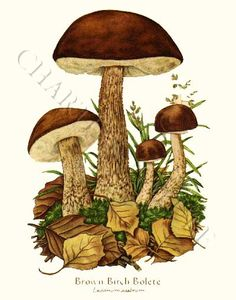 'Brown Birth Bolete' restored antique mushroom illustration - via Charting Nature