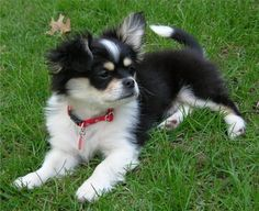 Average weight: 6 lbs  Maximum weight: 9 lbs  Like the Yorkillon, Cheeks dogs are a cross between two breeds—the Chihuahua and Pekingese. They have both long and short coats, so if you don't like grooming but love the breed, you can always opt for a Cheeks with shorter fur.