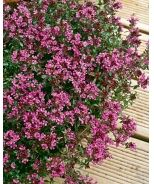 Red Creeping Thyme - grows 3-6 in tall and 12-16in wide