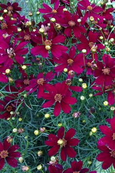 Coreopsis 'Red Satin' - Deep wine red to ruby red flowers - Sterile flowers, flowering from early through late summer - If cut back it can be encouraged to rebloom until November - Great hardiness (zone 5)