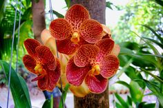 hybrid vanda in the philppines | Red 'Vanda sanderiana' hybrid